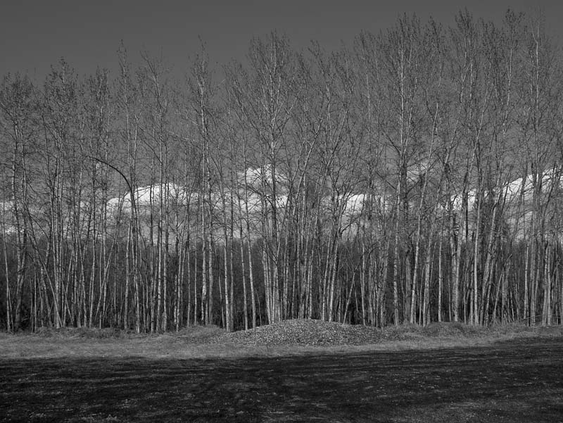 Bare trees in Alaska.